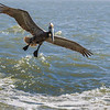 Brown Pelicans in flight following the Galveston-Bolivar ferry in Galveston Bay.