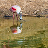 Roseate Spoonbill with reflections at The Rookery at Smith Oaks in High Island, Texas, during breeding season.