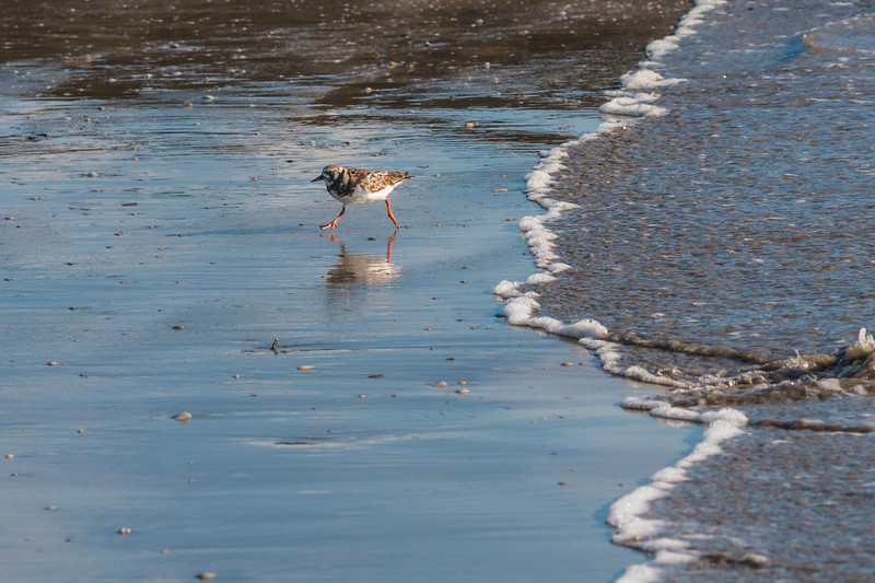 Semi-palmated Plover playing in the waves on Galveston East Beach in early morning light.
