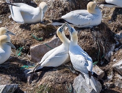 Gannet affection