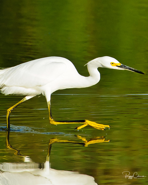 Snowy Egret and a fishing expedition!