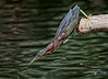 On The Hunt--Green Heron