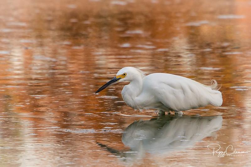 The Watercolor Egrets