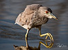 Juvenile, Black-crowned Night Heron
