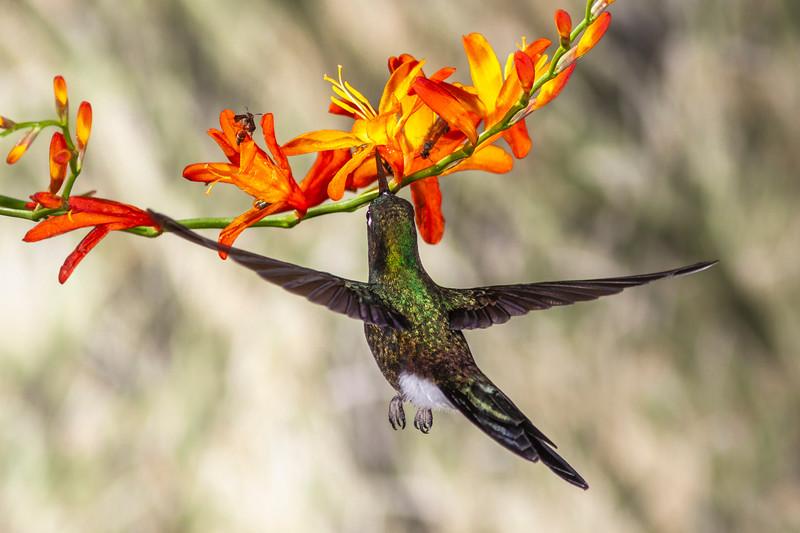 Tourmaline Sunangel hummingbird, Heliangelus exortis, at Guango Lodge in Ecuador.