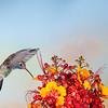 Broad-billed Hummingbird, Cynanthus latirostris, feeding at Mexican Bird of Paradise flowers, Caesalpinia mexicana.