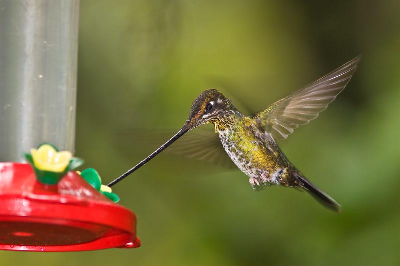 Sword-billed Hummingbird, Ensifera ensifera, longest bill relative to body size of any bird in the world, taken at Guango Lodge in Ecuador