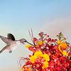 Black-chinned Hummingbird, Archilochus alexandri, feeding on Mexican Bird of Paradise flowers, Caesalpinia mexicana.