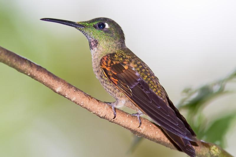 Fawn-breasted Brilliant hummingbird, Heliodoxa rubinoides, at Tandayapa Lodge in Ecuador.