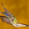 Sparkling Violetear hummingbird, Colibri coruscans, at Tandayapa Lodge in Ecuador.
