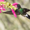 Tourmaline Sunangel hummingbird, Heliangelus exortis, at Guango Lodge in Ecuador.