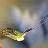 Booted Racket-tail hummingbird, Ocreatus underwoodii, at Tandayapa Lodge in Ecuador.
