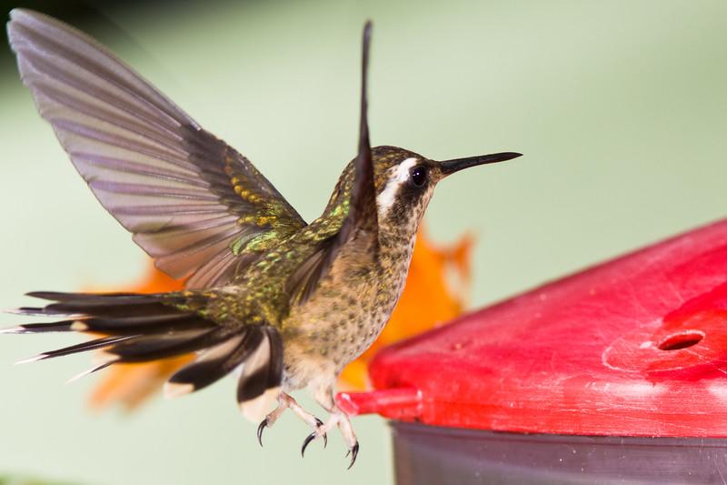 Speckled Hummingbird, Adelomyia melanogenys, at Bellavista Lodge in Ecuador.
