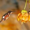 White-bellied Woodstar hummingbird, Chaetocercus mulsant, at Guango Lodge in Ecuador.