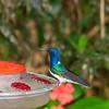 White-necked Jacobin male hummingbird, Florisuga mellivora, taken at Septimo Paraiso in Ecuador