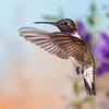 Black-chinned Hummingbird, Archilochus alexandri, in flight in search of nectar flowers.