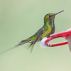 Booted Racket-tail hummingbird, Ocreatus underwoodii, Found at Bellavista Cloud Forest Reserve in Ecuador
