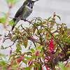 Anna's Hummingbird, Calypte anna, perching on a flowering Fuchsia plant at Point Arena Cove in Point Arena, California. .Anna's is a medium-sized hummingbird native to the west coast of North America.