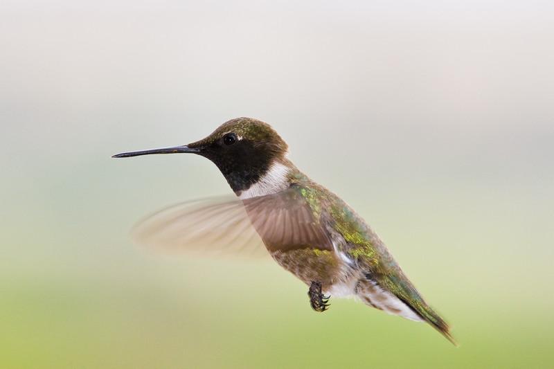 Black-chinned Hummingbird, Archilochus alexandri, at Petersen Ranch in West/Central Texas.