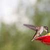 Rufous Hummingbird, Selasphorus rufus, at nectar feeder.