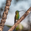 Sapphire-vented Puffleg hummingbird, Eriocnemis luciani, at Yanacocha Reserve in Ecuador