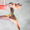 Purple-throated Woodstar hummingbird, Calliphlox mitchellii, and Rufus-tailed Hummingbird, Amazilia tzacatl, at Tandayapa Lodge in Ecuador.