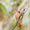 Shining Sunbeam hummingbird, Aglaeactis cupripennis, at Yanacocha Reserve in Ecuador