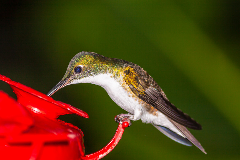 Andean Emerald hummingbird, Amazilia franciae, at Tandayapa Lodge in Ecuador.