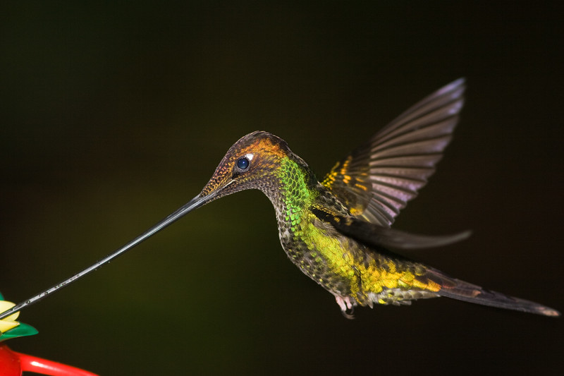 Sword-billed Hummingbird, Ensifera ensifera, at Guango Lodge in Ecuador
