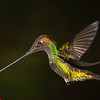 Sword-billed Hummingbird, Ensifera ensifera, at Guango Lodge in Ecuador