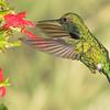 Western Emerald hummingbird, Chlorostilbon melanorhyncus, at Tandayapa Lodge in Ecuador.