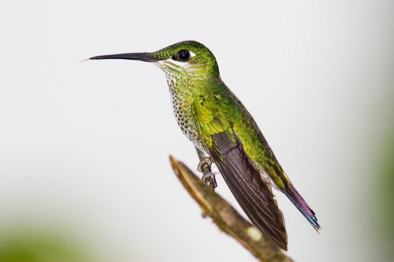 Female Green-crowned Brilliant hummingbird, Heliodoxa jacula, in Ecuador