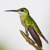 Female Green-crowned Brilliant hummingbird, Heliodoxa jacula, in Ecuador