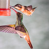Purple-throated Woodstar hummingbird, Calliphlox mitchellii, and Rufous-tailed Hummingbird, Amazilia tzacatl, at Tandayapa Lodge in Ecuador.