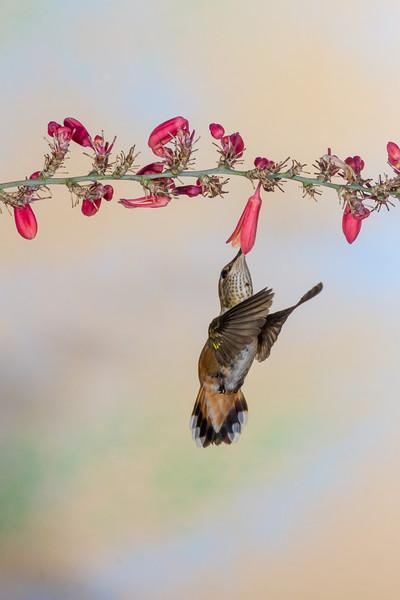Rufous Hummingbird, Selasphorus rufus, feeding on nectar flowers.