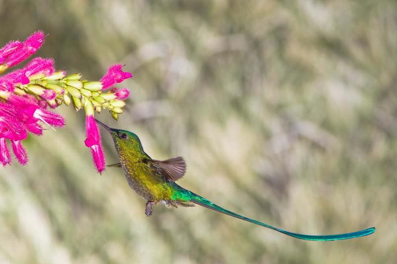 Long-tailed Sylph hummingbird, Aglaiocercus kingi, at Guango Lodge in Ecuador.