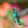 White-necked Jacobin female hummingbird, Florisuga mellivora, taken at Septimo Paraiso in Ecuador