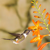 Purple-throated Woodstar hummingbird, Calliphlox mitchellii, at Tandayapa Lodge in Ecuador.