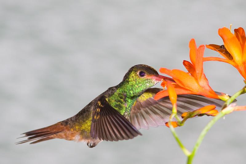 Rufus-tailed Hummingbird, Amazilia tzacatl, at Tandayapa Lodge in Ecuador.