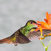 Rufus-tailed Hummingbird, Amazilia tzacatl, at Tandayapa Lodge in Ecuador.