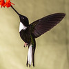 Collared Inca hummingbird, Coeligena torquata, at Guango Lodge in Ecuador.