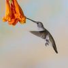 Black-chinned Hummingbird, Archilochus alexandri, feeding on nectar from Honeysuckle flowers.