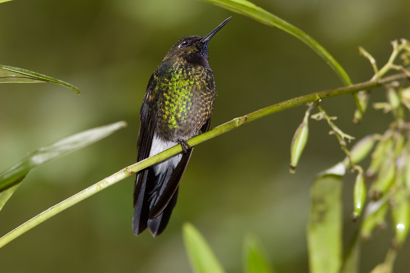 Tourmaline Sunangel hummingbird, Heliangelus Exortis, Taken at Guango Lodge in Ecuador