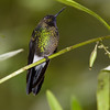 Tourmaline Sunangel hummingbird, Heliangelus Exortis, Taken at Guango Lodge in Ecuador