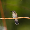 Speckled Hummingbird, Adelomyia melanogenys, at Guango Lodge in Ecuador