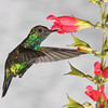 Western Emerald hummingbird, Chlorostilbon melanorhyncus, at Tandayapa Lodge in Ecuador.