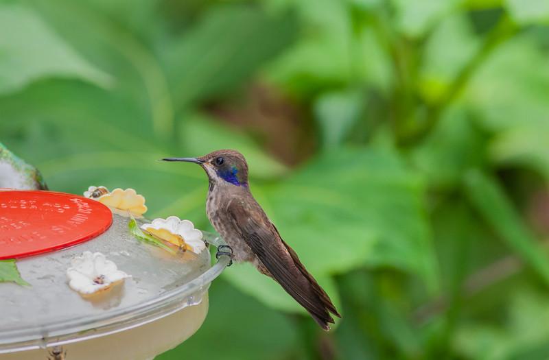 Brown Violetear Hummingbird, Colibri delphinae, Found at Septimo Paraiso Cloud Forest Reserve
