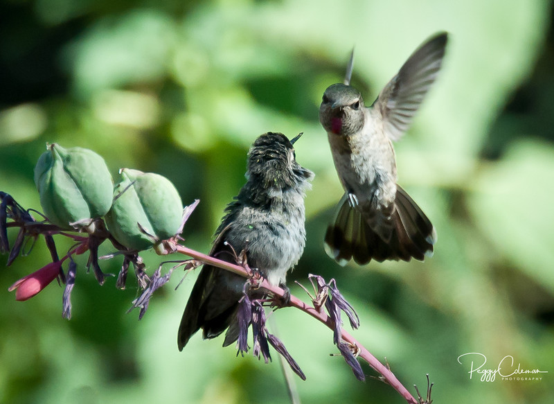 """Mama Anna's Hummingbird """"encourages"""" her fledgling to get moving and find breakfast!"""