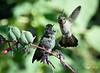 "Mama Anna's Hummingbird ""encourages"" her fledgling to get moving and find breakfast!"