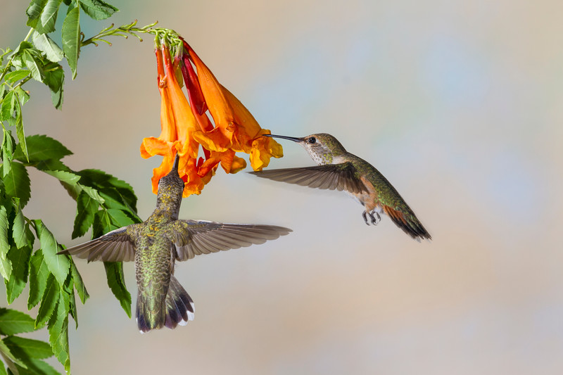 Rufous Hummingbird, Selasphorus rufus, and Black-chinned Hummingbird, Archilochus alexandri, feeding on nectar from Honeysuckle flower.